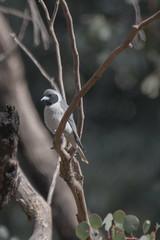 masked woodswallow (crispiks) Tags: birdlife chiltern forest mount pilot national park north east victoria nikon d500 200500 f56 maskede woodswallow glider track