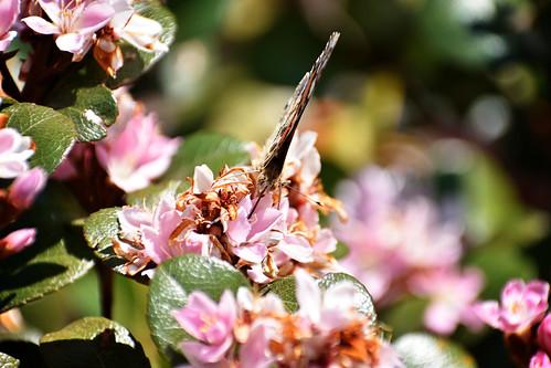 Skoenlapper / Butterfly 1