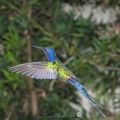 _DSC0305 (Roger Hummingbirds) Tags: animal nature bird birds colibri wildlife hummingbird wings flight feeder flower nectar south america rain forest color colorful colour fly flying spread blue green delicate flora floral beauty inflight ornithology wild brazil beijaflor tesourinha kolibrie feathers outdoor verde azul natureza do sul vôo voando delicado flores