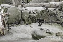 birds-7185 (pmbell64) Tags: capitalg britishcolumbia canada ca