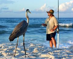 (HerrmannStudios) Tags: great blue heron fishing fish sand gulf shores alabama al usa mexico