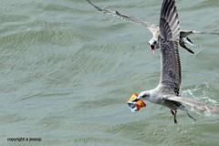 Gulls J78A0884 (M0JRA) Tags: gulls birds flight flying wildlife rats walks gardens parks fields trees lakes ponds ducks swans rspb