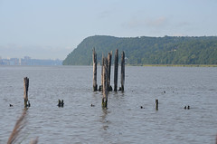 Pilings and Waterfowl 2 (rchrdcnnnghm) Tags: abandoned dock pier ferryslip pilings birds waterfowl piermontny rocklandcountyny