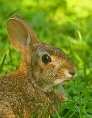 rabbit-wild-41w (egdc211) Tags: canon connecticutwildlife naturewatcher nature newenglandwildlife newenglandwildlifephotography wildlife willingtonwildlife outdoors rabbit bunny