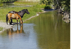 Break Time (stevenbulman44) Tags: horse animal drink water reflection landscape color canon 70200f28l polarizer