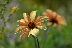 In the Good Old Summertime (Eddie C3) Tags: wavehill botanicalgarden bronxnewyork riverdals wavehillflowergarden flowers bokeh dahlia asteraceae