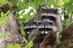 Mom on the move (dennis_plank_nature_photography) Tags: avianphotography ridgefieldnwr birdphotography naturephotography raccoons ridgefield wa avian birds nature