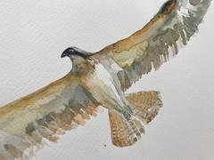 B006-365 one bird a day - Osprey - zoom 1 (www.doortje.nl) Tags: challenge 鳥 onebirdaday 365 bird vogel pájaro uccello passarinho طائر oiseau птица birdo voël 鸟 doortjenl wwwdoortjenl wwwdroedelsnl www1tekeningperdagnl wwweentekeningperdagnl winsornewton wn