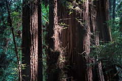 Henry Cowell Redwoods State Park - California (ChrisGoldNY) Tags: chrisgoldphoto chrisgoldberg chrisgoldny licensing forsale bookcovers albumcovers sonyalpha sonya7rii sonyimages sony california cali westcoast redwoods nationalparks trees parks nature northerncalifornia