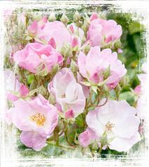 Pale and Interesting. (maureen bracewell) Tags: devon summer sunshine roses pink closeup border grunge nature flowers garden cannon maureenbracewell texure painterly digitalart