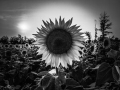 Sunflower Fields Forever (michaelwalker19) Tags: sunflowers sunflowersbw sunset avonlakeohio