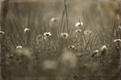 Wildflowers Inspiration ... (MargoLuc) Tags: daisies wildflowers charming meadow bokeh monochrome flowers bw texture natural light grass backlight