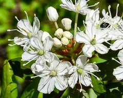 Wild Flowers (maytag97) Tags: maytag97 nikon d750 wild white blossom pet petal closeup nature natural outdoor sunlight sunlit stamen filament