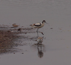 2018_07_0296 (petermit2) Tags: ringedplover plover avocet northcavewetlands northcave brough eastyorkshire eastridingofyorkshire yorkshire yorkshirewildlifetrust ywt wildlifetrust wildlifetrusts