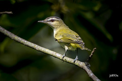 Red-eyed Vireo (jt893x) Tags: 150600mm bird breeding d500 jt893x nikon nikond500 redeyedvireo sigma sigma150600mmf563dgoshsms songbird vireo vireoolivaceus thesunshinegroup coth sunrays5 coth5 ngc