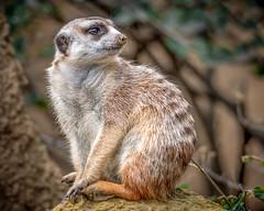 Watchful (helenehoffman) Tags: africa mongoosefamily conservationstatusleastconcern suricatasuricatta nature sandiegozoo meerkat wildlife mammal suricate carnivore animal alittlebeauty