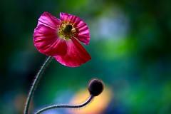 Poppy (sylviafurrer) Tags: mohnblume poppy ros rosa red macro bokeh flower blume ngc