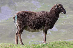 Soay Ewe (queeny63) Tags: elements