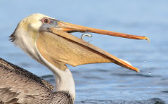 Escaping Opportunity (bmse) Tags: brown pelican bolsa chica fish fishing canon 7d2 400mm f56 l bmse salah baazizi wingsinmotion bird animal
