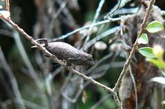 New species of Rhampholeon