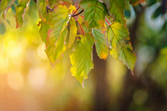 Sunset (Pásztor András) Tags: nature leafs tree sunset sun light blue sky macro detailed bokeh creamy colorfull colors orange green red dslr full frame nikon d700 andras pasztor photography 2018 hungary