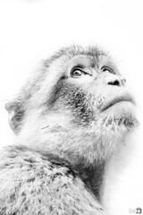 El pensador ([Nelooo]) Tags: mono bn pensandor pensando clave alta gibraltar primate blanco