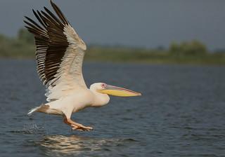 Great White Pelican --- Pelecanus onocrotalus