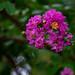 Blooms of a Crape Myrtle