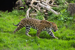 Jaguar (Panthera onca) (Seventh Heaven Photography) Tags: jaguar panthera onca cat chester zoo cheshire male napo nikond3200 animal mammal plants rock nearthreatened feline carnivore grass wood
