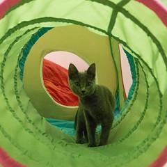 Twilight at Play (Ellsasha) Tags: cats ferals felines play activitycenter design therapy greens gray greys