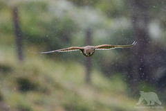 European Kestrel (fascinationwildlife) Tags: animal bird snow storm summer wild wildlife nature natur national pa hohe tauern mountains austria kärnten raptor raubvogel vogel tiere kestrel turmfalke falke europe european inflight