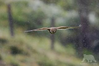 European Kestrel