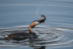 Last struggle (KevinBJensen) Tags: birds water rippled bird swimming standing grebe prey fish splash drop tench podiceps wildlife baggerweiherremerschen fische haffréimech grebes