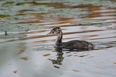 _DSC1692 (soderqvist.magdalena) Tags: birds bird råstasjön nature wildlife outdoors greatcrestedgrebe skäggdopping