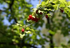 Kornelkirsche / cornelian cherry (cornus mas) (HEN-Magonza) Tags: botanischergartenmainz mainzbotanicalgardens rheinlandpfalz rhinelandpalatinate kornelkirsche corneliancherry cornusmas