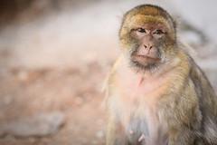 * (Gwenaël Piaser) Tags: morocco maroc 2018 ⵜⴰⴳⵍⴷⵉⵜⵏⵍⵎⵖⵔⵉⴱ المملكةالمغربية royaumedumaroc royaume ⵍⵎⵖⵔⵉⴱ المغرب almaġrib travel vacances voyages unlimitedphotos gwenaelpiaser canon eos 6d canoneos eos6d canoneos6d fullframe 24x36 reflex rawtherapee 85mm 85mmf18 canonef85mmf18usm ef85mmf18usm ef85mm usm ef85mmusm canonef85mm118usm prime singe monkey portrait bokeh flou look regard eyes