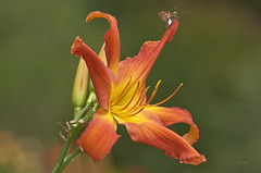 Orange Daylily (ChristopherLeeHewitt) Tags: daylily dof orange petals plants summer stamens flower flora foliage flowers fleur insect moth nature nikon nikond810 naturephotography blossom bloom blooming bokeh bright garden green skipper