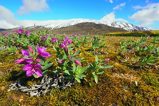 Dwarf fireweed, a typical arctic wildflower.