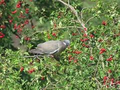 Woody having a feast (Harvest time) (Deida 1) Tags: woodpigeon bird hawthorn harvest hawthornberries uk staffordshire field