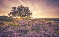 Heather Rise (Captain Nikon) Tags: heather owlertor lawrencefield lonetree sunrise sunburst derbyshire thepeakdistrict england greatbritain summer landscapephotography seasons