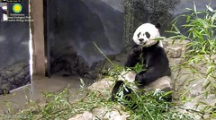 2018_08-19d (gkoo19681) Tags: meixiang beautifulmama sopretty proudmama adorableears fuzzywuzzy toofers bootime contentment amazing perfection toocute foreveryoung majestic precious royalty darling posing adorable meltinghearts ccncby nationalzoo