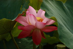 IMG_3940M Lotus (陳炯垣) Tags: blooming flower floral blossom petal nature