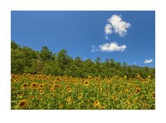 Sunflower Heaven (ChristopherLeeHewitt) Tags: landscape sunflower flower flowers fleur sky clouds yellow mountains foliage forest westernnorthcarolina trees summer sunshine sunny sunlight woods nature naturephotography nikond810 nikon northcarolina
