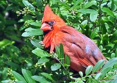 DSC_0541 (RachidH) Tags: birds oiseaux snow cardinal redbird northerncardinal cardinaliscardinalis cardinalrouge sparta nj rachidh nature
