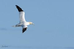 Bempton cliffs (J Harwood Images) Tags: 200500 2018 d500 england nikon yorkshire gannet bird rspb bempton flying