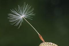 V064_MPC 3128 (Paulo Villa) Tags: dadelion seed macro closeup nature