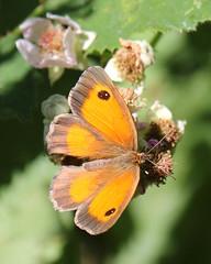 Meadow Brown (Treflyn) Tags: meadow brown butterfly grazeley reading berkshire