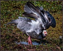 Chajá (Totugj) Tags: chajá aves argentinas buenos aires argentina animales fauna birds uccelli nikon d7500 sigma 150600mm teleobjetivo