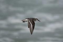 Sanderling (j shew) Tags: nj islandbeachstatepark sanderling jersey shore