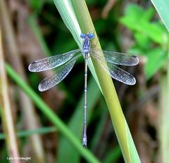 Slender Spreadwing Damselfly male (Lois McNaught) Tags: slenderspreadwingdamselflymale damselfly insect nature wildlife hamilton ontario canada
